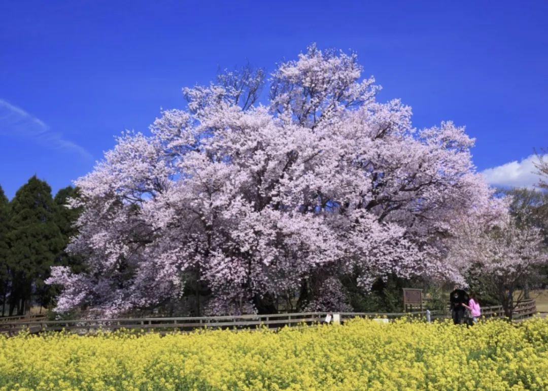 2018年日本樱花什么时候开,先去这些地方才算